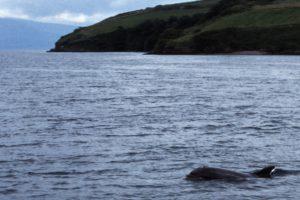 Delfin Fungie begleitet uns in der Dingle Bay