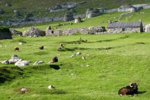 Wilde Schafe auf Hirta / St. Kilda, Fotograf: Ralf Hamacher